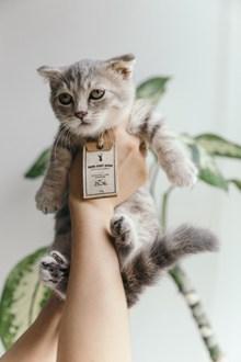 可爱短毛幼猫图片素材