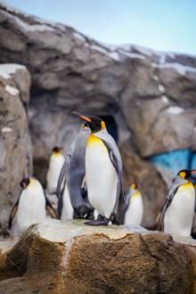 皇帝企鹅高清高清图片
