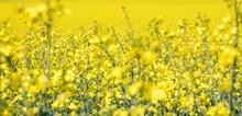 黄色油菜花花海精美图片