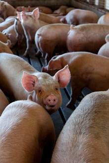 圈养土猪精美图片
