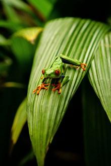 可爱绿色树蛙高清图