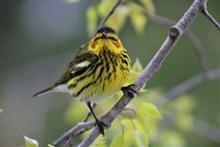 黄莺鸟高清图片