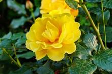 艳丽黄玫瑰花朵高清图