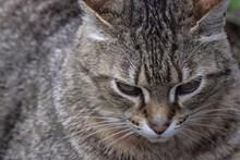 呆萌灰色猫咪图片