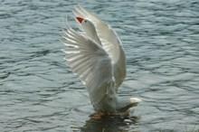 展翅白天鹅精美图片
