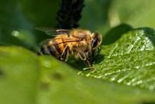 绿叶上的蜜蜂图片素材