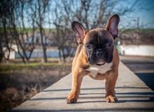法国斗牛犬幼犬精美图片