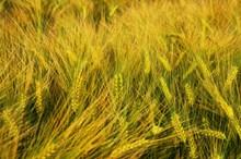 小麦谷物摄影高清图
