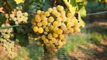 葡萄水果成熟图片素材