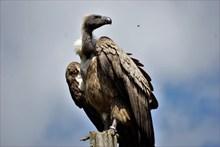 野生秃鹰高清图