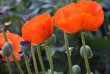 罂粟花花朵摄影精美图片