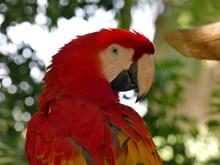 红色金刚鹦鹉特写图片素材