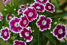 康乃馨花朵图片素材