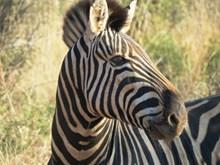 南非斑马头部特写高清图