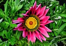 杂色菊花朵开花高清图