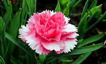 灿烂康乃馨花朵图片大全