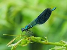 蓝色小蜻蜓休息图片素材