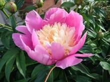 漂亮粉色牡丹花朵图片下载