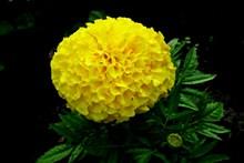 灿烂黄色万寿菊高清图