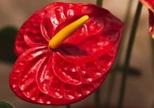 红掌花卉特写图片下载