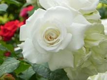 漂亮白玫瑰花朵高清图片