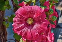 花园红色木槿花图片