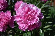 粉色牡丹花朵盛开高清图片