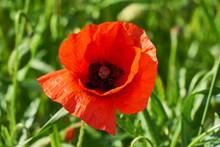 红罂粟花朵摄影精美图片