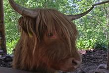 老黄牛头部特写高清图片