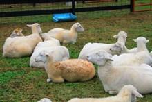 农场绵羊群高清图片