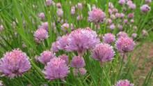 紫色韭菜花朵图片素材
