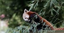 小熊猫可爱精美图片