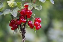 成熟野生红浆果高清图