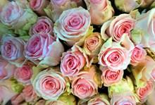淡粉色玫瑰花束高清图片