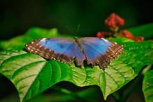 大只蓝色蝴蝶图片素材