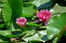 池塘睡莲花风景图片大全