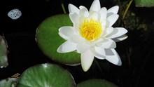 纯白色睡莲花图片素材