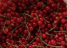 红浆果丰收高清图片