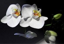 绽放白色蝴蝶兰高清图