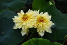 黄色莲花绽放图片素材
