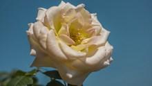 高清玫瑰花朵精美图片