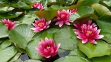 水中睡莲绽放高清图片