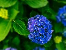高清蓝色绣球花摄影图片大全