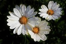 雨后白菊花朵图片大全