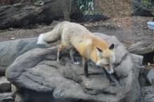 动物园狐狸图片大全