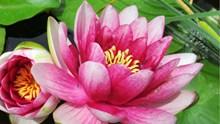 粉红色莲花特写图片下载