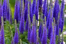 蓝紫色植物花朵图片素材