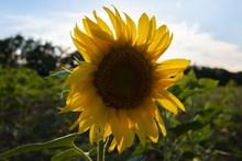 向日葵花朵特写精美图片