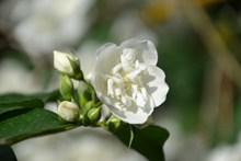 白色茉莉花朵摄影图片素材