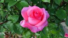 鲜艳玫瑰花朵精美图片